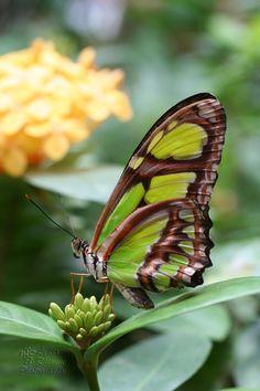 Malachite butterfly by LydiaRhianne