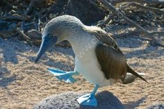 My hero: the Blue Footed Booby    ---    Google Image Result for http://www.eyewhy.co.uk/images/BlueFootedBooby-6.jpg