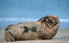 A grey seal appears to be striking a pose like a model on the beach...  Picture: Thorsten Milse/Robert Harding/Barcroft Media