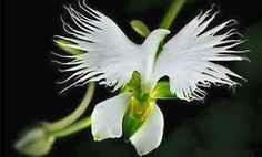 This flower is found in Panama and it blooms only during the Pentecost season. Fabulous isn't it!