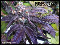 Purps - the most purple marijuana plant I ever grew.  Shocked me when I removed it from under the LED grow light!