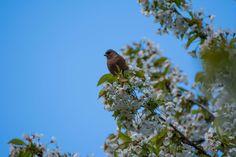 #bird #branch #feather #flowers #garden #nature #plumage #sit #sky #small bird #songbirds #spring #tree #wildlife photography