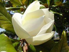 magnolia grandiflora flor