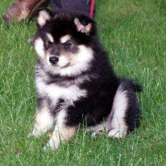 Finnish Lapphund breeders in the UK | FreeDogListings UK