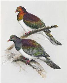 New Zealand Pigeon (Kereru)(above) / Chatham Island Pigeon (Kuku) - Collections Online - Museum of New Zealand Te Papa Tongarewa
