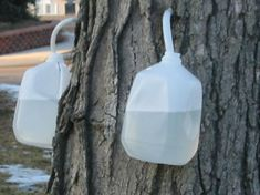 Tap your own maple water for a refreshing healthy drink