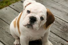 Such an incredibly precious little wrinkly face, complete with one solid brown and one spotted ear. Bulldog...