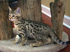 Meet Camber - A Prime Example of the Savannah Cat