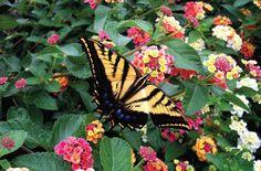 Gardens that attract butterflies. Tiger Swallowtail on Lantana. Gardens that attract butterflies. Flowers That Attract Butterflies, Beautiful Butterflies, Amazing Flowers, Lantana Plant, Texas Plants, Perfect Plants, Flowers Perennials, Container Plants, Dream Garden