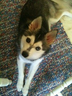 Pictures of Alaskan Klee Kai Dog Breed