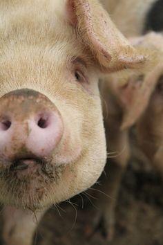 Pig Sty by L&G