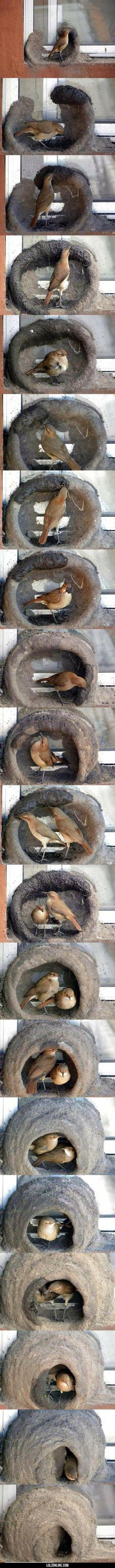 Birds Building A Nest. Can You Guest How Long They Take? #lol #haha #funny