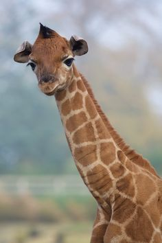 Dublin Zoo is celebrating the birth of a male Rothschild Giraffe. The calf was born October 25th and stands tall at 1.5 meters (5 feet) and weighs an estimated 45 kg (99 lbs.). Check out ZooBorns to learn more and see more! http://www.zooborns.com/zooborns/2015/11/rothschild-giraffe-born-at-dublin-zoo.html