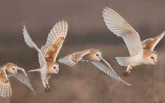 Owls - wings, owl, pasare, bufnita, barn owl