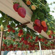 Strawberries in recycled rain gutters