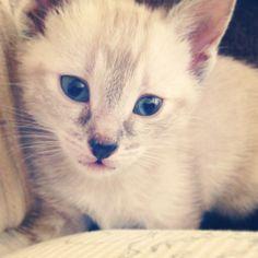 Siamese Tabby mix kitten  Blue eyed kitty lynx point siamese