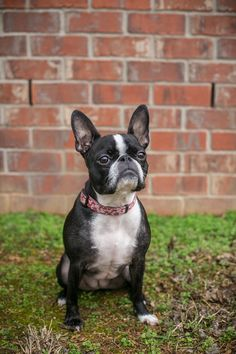 Boston Terrier/French Bulldog mixed breed sitting in front of brick wall, ©️️K Schulz Photography, lifestyle dog photography Nashville,, TN Cute Puppies, Cute Dogs, Terrier Mix, Terrier Dogs, French Bulldog Mix, Cute Puppy Pictures, Boston Terrier Dog, Mixed Breed, Dog Photography