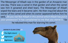 "The Messenger of Allah, may Allah bless him and grant him peace, once passed by a camel that was so emaciated that its back had almost reached its stomach. He said, ""Fear Allah in these beasts who cannot speak."" (Abu Dawud)"