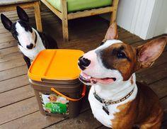 Bull terrier puppies loving this dog food bucket! :)