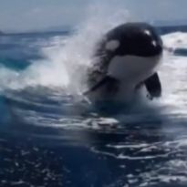 Killer Whales Play Like Dolphins Behind a Speeding Boat - Oh my gosh. So cool.