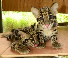 Clouded Leopard Information, Facts, Habitat, Adaptations, Baby ...