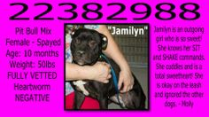 **Fort Worth, TX** CURRENT STATUS: Must be tagged for adoption or rescue by 3pm on 04/27/14**  Reason for URGENT STATUS: Upper Respiratory Infection  Animal ID: 22382988 Name: Jamilyn Breed: American Pit Bull/Mix Sex: Female - Spayed Age: 10 months Weight: 50lbs FULLY VETTED Heartworm NEGATIVE