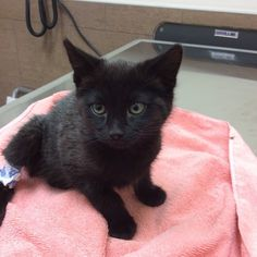 Poor little Michonne had to have blood drawn from her back leg. She was a champ though! #millwoodseastpets #edmontonvet #newkitten