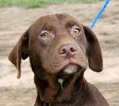 Godiva is an adoptable Chocolate Labrador Retriever Dog in Chipley, FL. Godiva andGhiridelli are chocolate lab crosses, they were brought in with Dixie, the black lab, and are probably pups from her ...