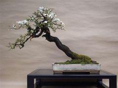 "Blackthorn (Prunus spinosa)  16"" high. Pot by Gordon Duffett.  In training for 3 years."
