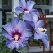 Azurri Blue Satin Rose of Sharon Hibiscus is a blue-purple Hibiscus.This Rose of Sharon is a great shrub for planting in your landscape. Easy to grow. Online garden center with fast doorstep delivery! Purple Plants, Purple Flowers, Summer Flowers, Beautiful Flowers, Early Spring Flowers, Summer Plants, Sandy Soil, Satin Roses, Flowering Shrubs