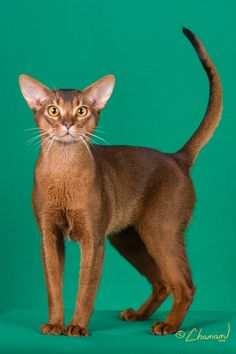 GC, NW Chome Chai Haute Couture Of NuDawnz Best Cat in Championship Abyssinian Ruddy Male