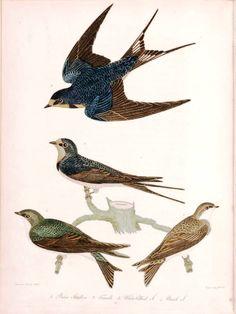 Naturalist illustration, 18th Century.