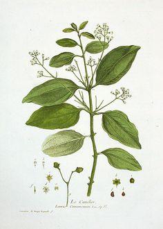 Cinnamon botanical illustration by Nicholas Francois Regnault 1774