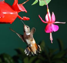 butterflies feeders and houses pinterest | Fuschia Flower With Hummingbird