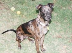 Sugar the catahoula is an adoptable Catahoula Leopard Dog Dog in Frisco, TX. Sugar is a Catahoula/Whippet mix that was found as a stray on a country school playground. She had made friends with the ki...