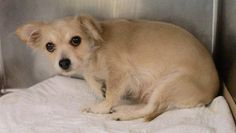 PEACHEY - A1067259 - - Manhattan  Please Share:   TO BE DESTROYED 03/15/16  **NEW HOPE ONLY**Tiny Peachey's future looks far from rosy this evening. The poor girl was abandoned which was scary in itself. Then she was carted off to this terrifying shelter. Peachey is a gorgeous, toy fox terrier of only about 10-pounds. Her age is judged to be around 4-years and to find a dog like her abandoned is quite perplexing. Peachey has been very frightened during her 4 days at the s