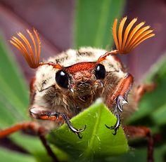 Maybug /Cockchafer beetle
