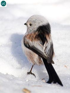 https://www.facebook.com/WonderBirds-171150349611448/ Bạc má đuôi dài; Họ Bạc má đuôi dài-Aegithalidae; Châu Âu và châu Á    Long-tailed tit/bushtit (Aegithalos caudatus); IUCN Red List of Threatened Species 3.1 : Least Concern (LC)(Loài ít quan tâm).
