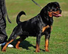 I Love Rottweilers   .jpg (800×640)
