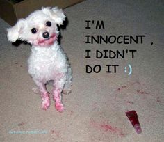 """I'm innocent! I didn't do it."" #dog #humor"
