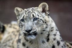 Majestic Moments With The Gorgeous Snow Leopards