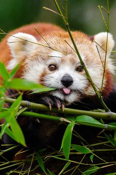 Everything you should know about the Red Panda. The Red Panda is not an adorable, red-and-white furry animals, that live in the trees of China. Cute Kittens, Little Kittens, Cute Baby Animals, Animals And Pets, Funny Animals, Panda Mignon, Panda Lindo, Panda Images, Cute Squirrel