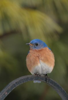 Only twice in my life I've seen a bluebird, and both were the mornings after hearing devastating news while I was pregnant with Gavin.  Both times, the bluebird was on my deck.  Someday, I will get a bluebird tattoo.