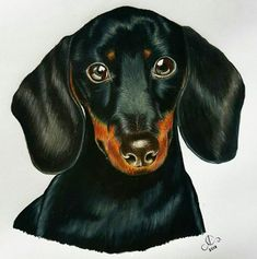 Miniature dachshund draw. Artist: Ana Gabriela.  Made with Prismacolor Premier pencils in 12 hours of work. #art #artwork #pencil #colours #dogs #paint #drawing #drawingpets #ilustration
