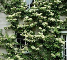 Seemannii Evergreen Climbing Hydrangea