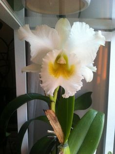 Cattleya Orchids, Plants, Plant, Planets, Orchid