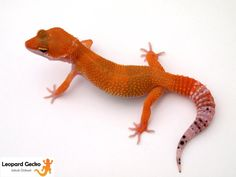 Tangerine leopard gecko?