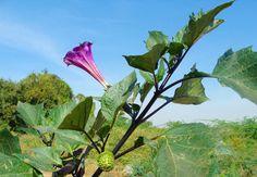 Indischer Stechapfel (Datura metel) – Heilkraut und Rauschpflanze