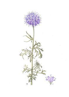 Gilia capitata, Common Name: Globe Gilia, Artist: Mally Francis