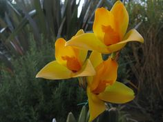lycaste candida Orchid | Lycaste skinneri alba is always an attractive flower, and the cultivar ...